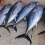 portland fishing charter tuna